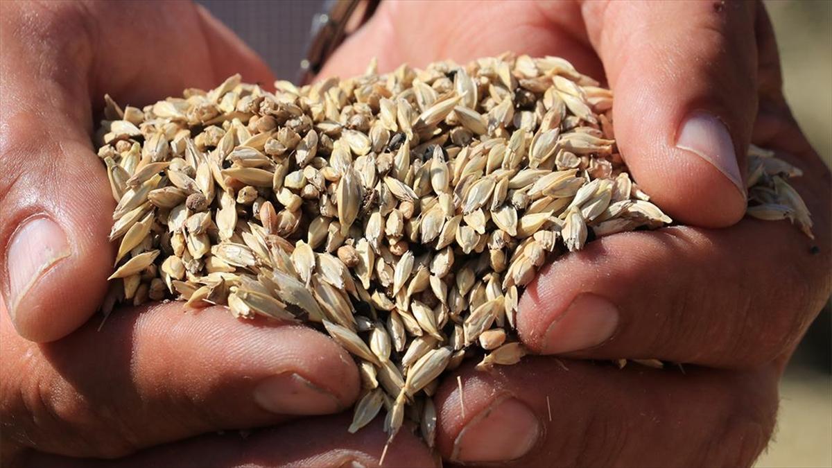 10 bin yıllık siyez buğdayı coğrafi işaret olarak tescillendi